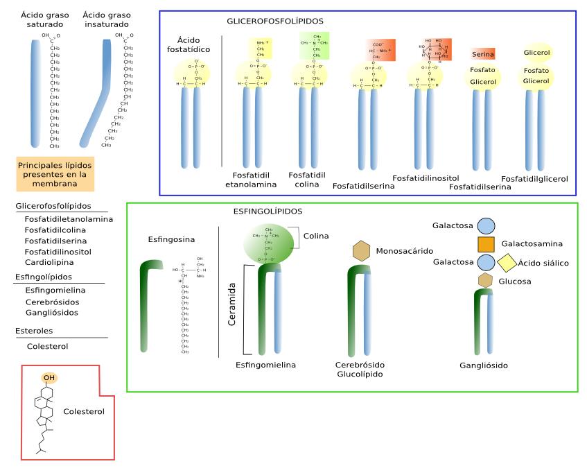 La Célula 2 Membrana Celular Lípidos Atlas De Histología