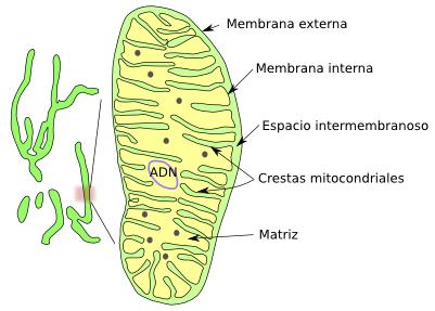 La Célula 6 Mitocondrias Atlas De Histología Vegetal Y Animal