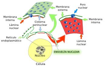 La Célula 4 Núcleo Envuelta Nuclear Atlas De Histología