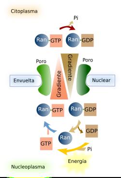 La Célula 4 Núcleo Poros Nucleares Atlas De Histología