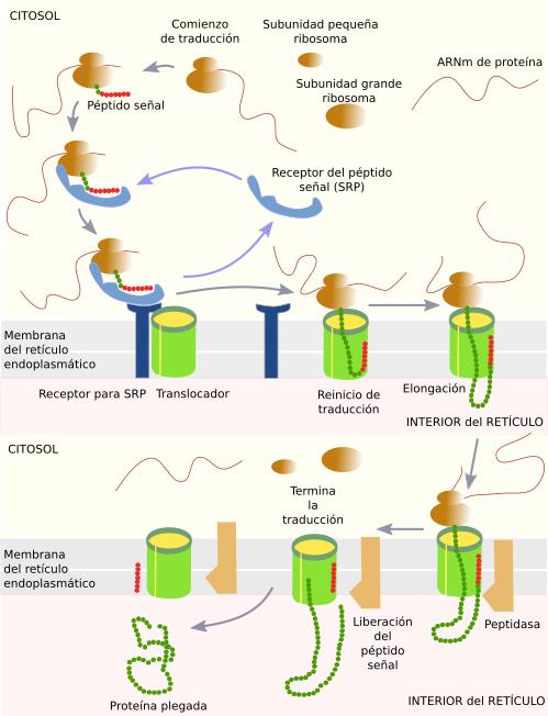 que quiere decir detoxificación celular