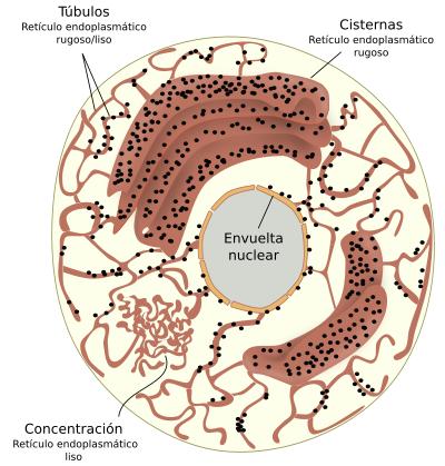 Ribosoma estructura y funcion