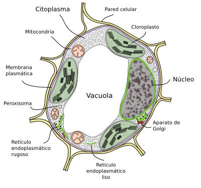 La célula. 2-Matriz extracelular. Ampliaciones. Pared celular. Atlas ...
