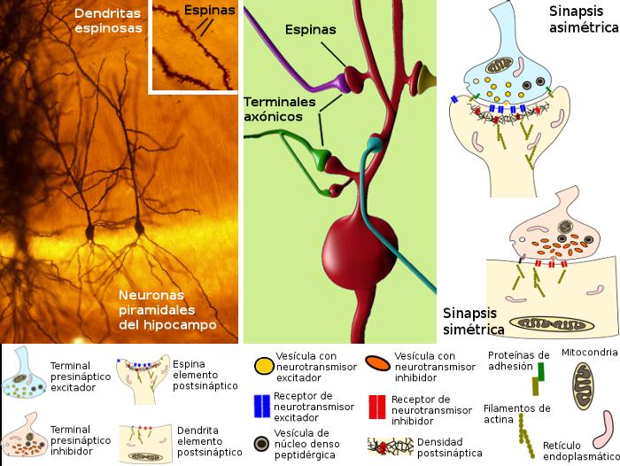 Tipos celulares. La neurona. Atlas de Histología Vegetal y Animal