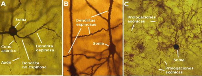 Tipos celulares La neurona Atlas de Histologa Vegetal y Animal