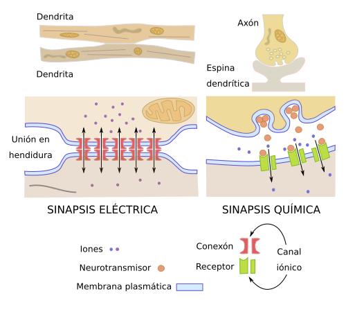 Sinapsis Electricas Como Son Y Como Funcionan En El Sistema Nervioso