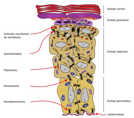 Tipos celulares. Queratinocito. Atlas de Histología Vegetal y Animal