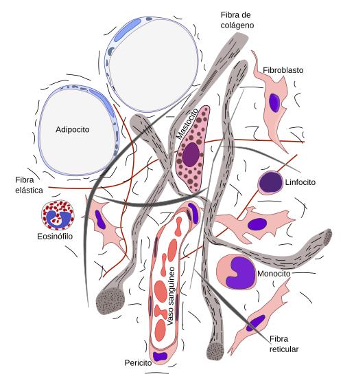Tipos celulares y fibras