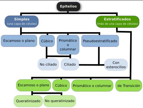Tejidos animales. Epitelio de revestimiento. Atlas de Histología ...