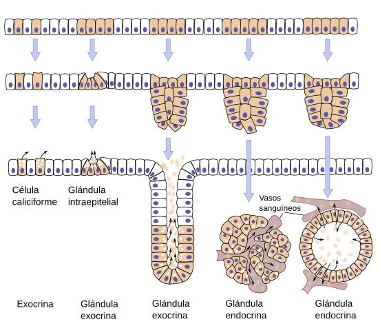 Tejidos animales. Tejido epitelial. Glandular. Atlas de Histología ...