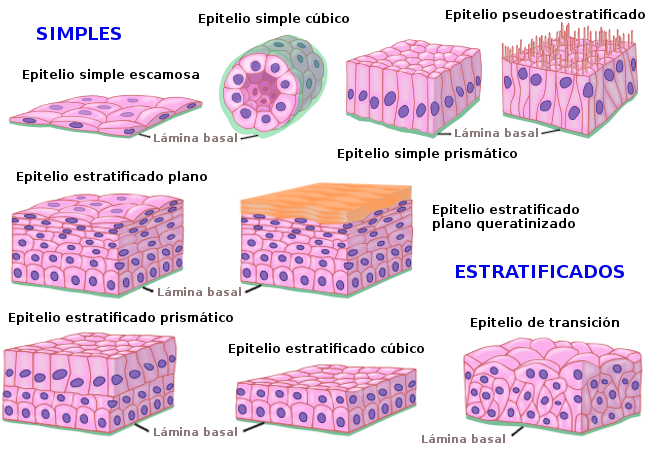 Epithelium types