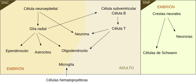 Cell lineages